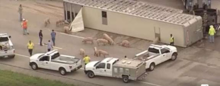 texas-pigs