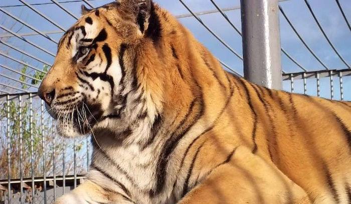 tony-tiger