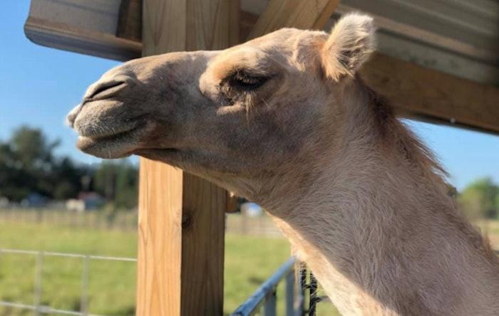 casper-the-camel