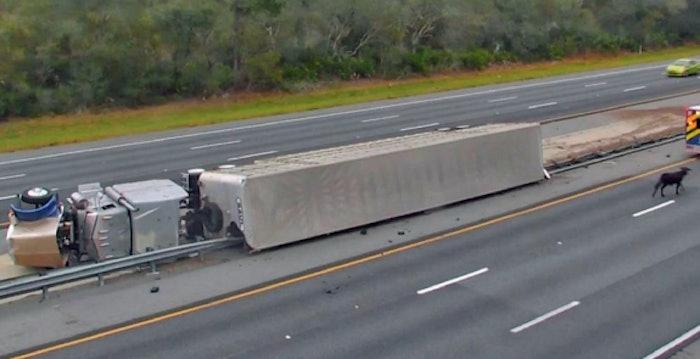 cattle-truck-crash-in-florida